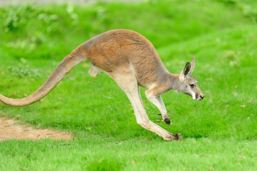 Kangaroo bouncing